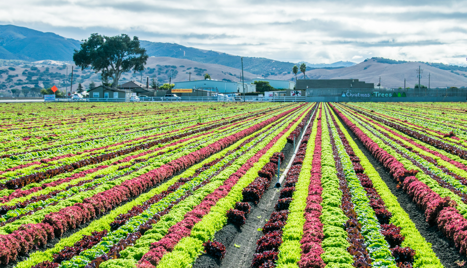 Colorful Rows in Salinas Valley